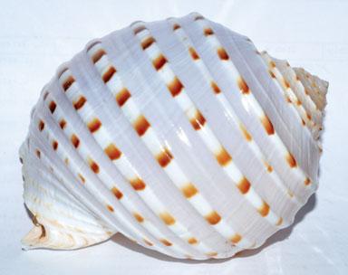 """4"""" Tonna Tessalata shell incense burner"""