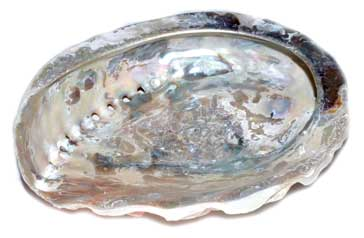 "4"" Abalone Shell incense burner (limited quanity)"